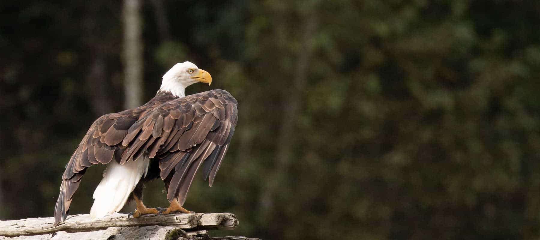 Balk Eagle Nuxalkmc
